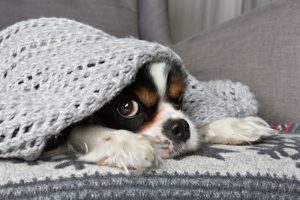 dog-under-blanket-is-prepared-for-winter